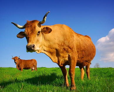Healthy cows live on the pasture